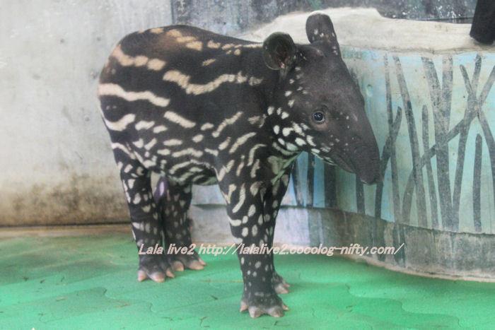 Tapir20141007