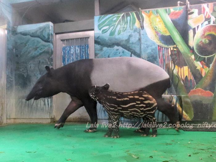 Tapir201410071