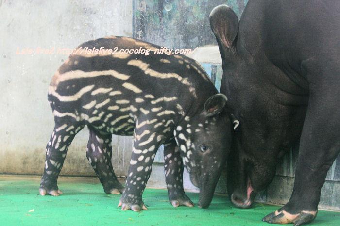 Tapir201410071_2