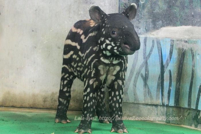 Tapir201410072