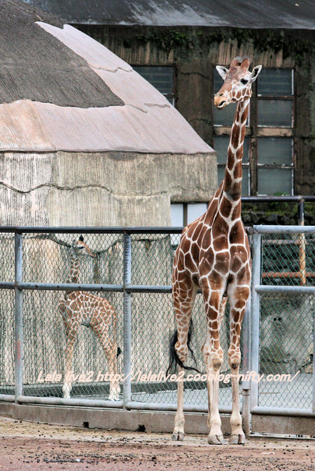 Giraffe20141007