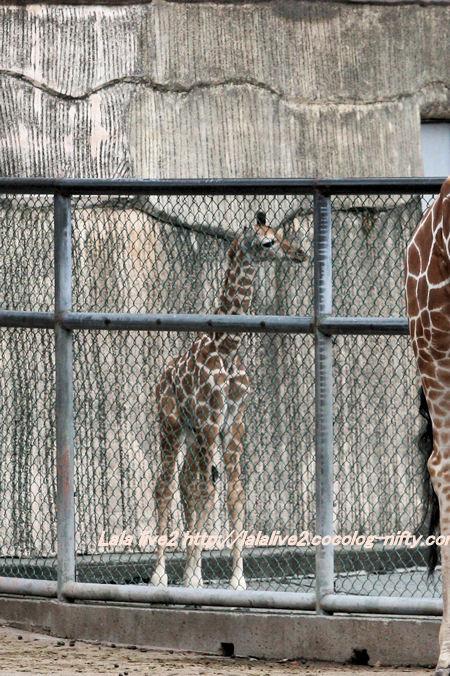 Giraffe201410071