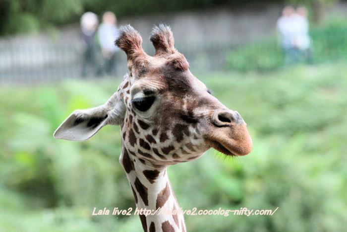 Giraffe201410074