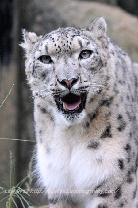 Snowleopard20141007