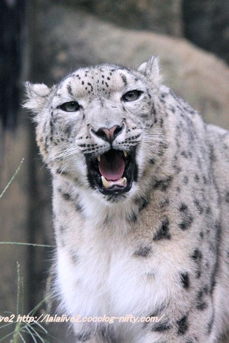 Snowleopard201410072