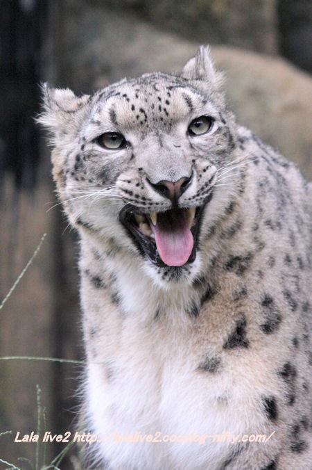 Snowleopard201410073