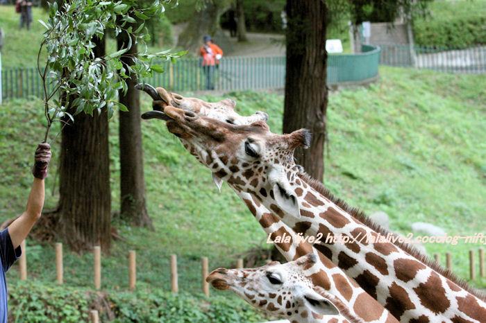 Giraffes20141007