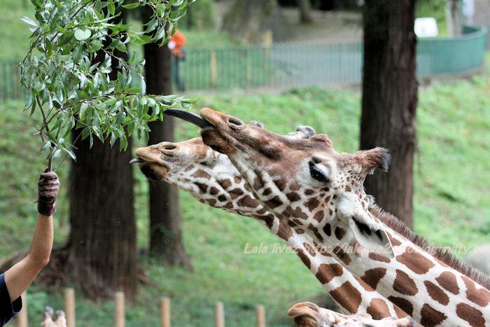 Giraffes201410071
