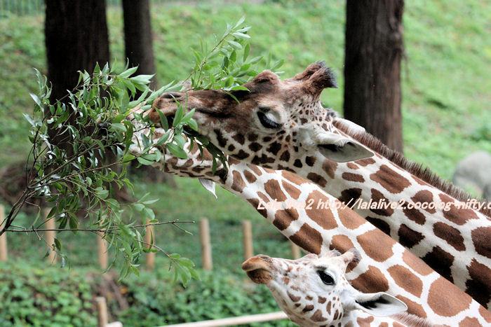 Giraffes201410072