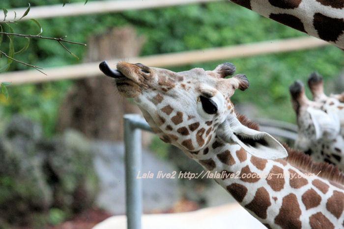 Giraffes201410073