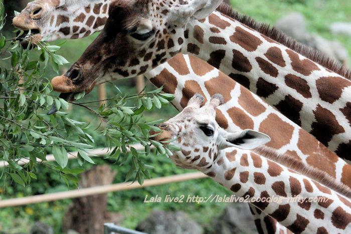 Giraffes201410074
