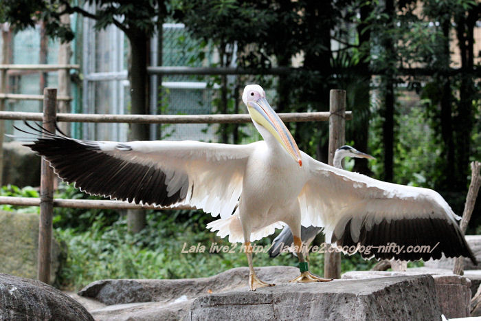 Momoiropelican201410074