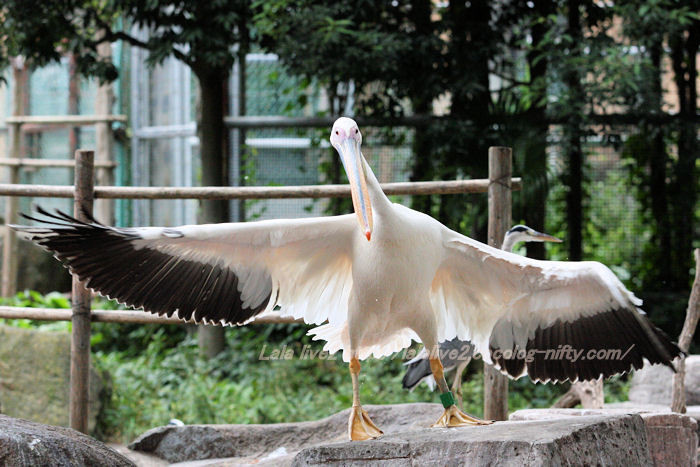 Momoiropelican201410075
