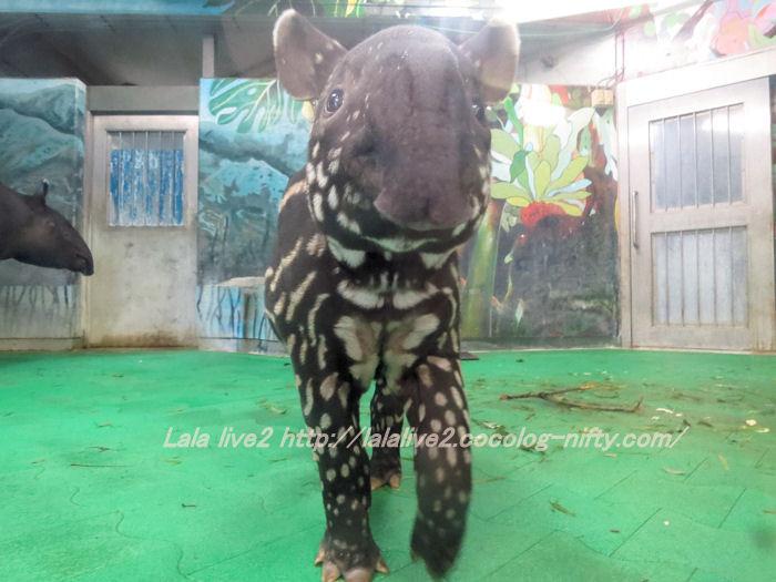 Tapir2014100712
