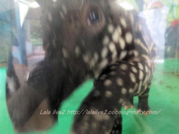 Tapir2014100713