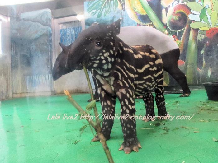 Tapir2014100715