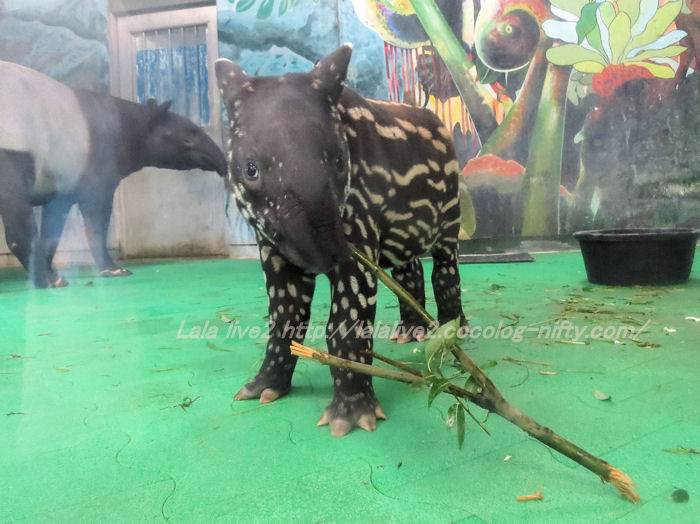 Tapir2014100716