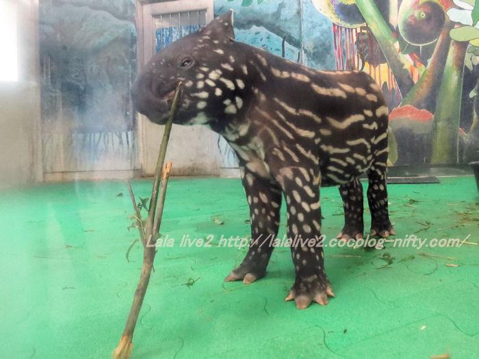 Tapir2014100717