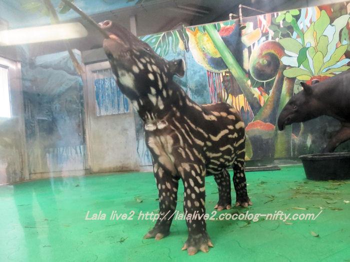 Tapir2014100718