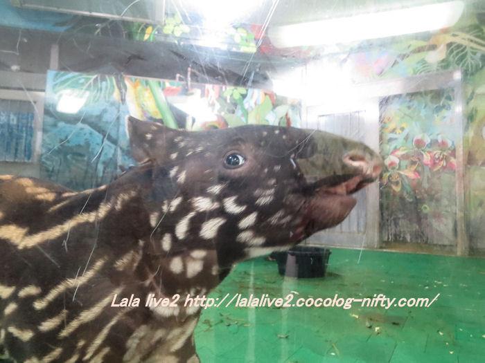 Tapir2014100721