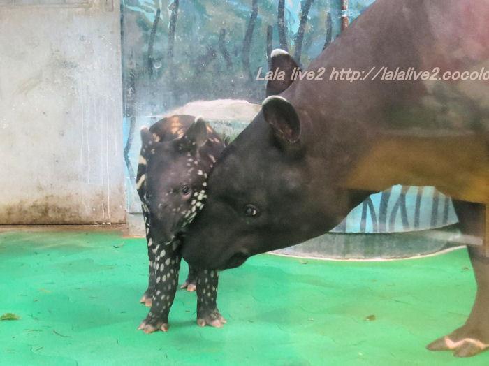 Tapir2014100722