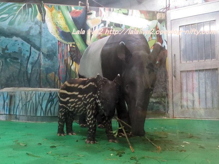 Tapir2014100724