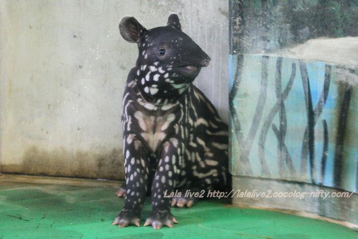 Tapir2014100725