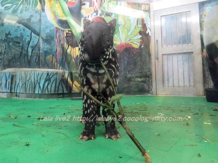 Tapir2014100726