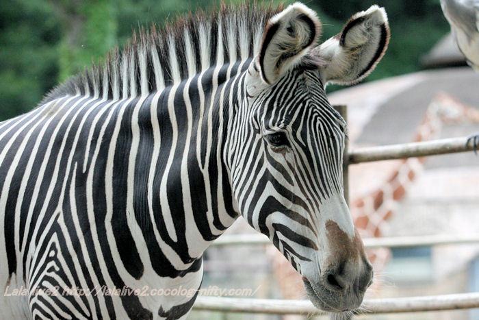 Zebra20141007