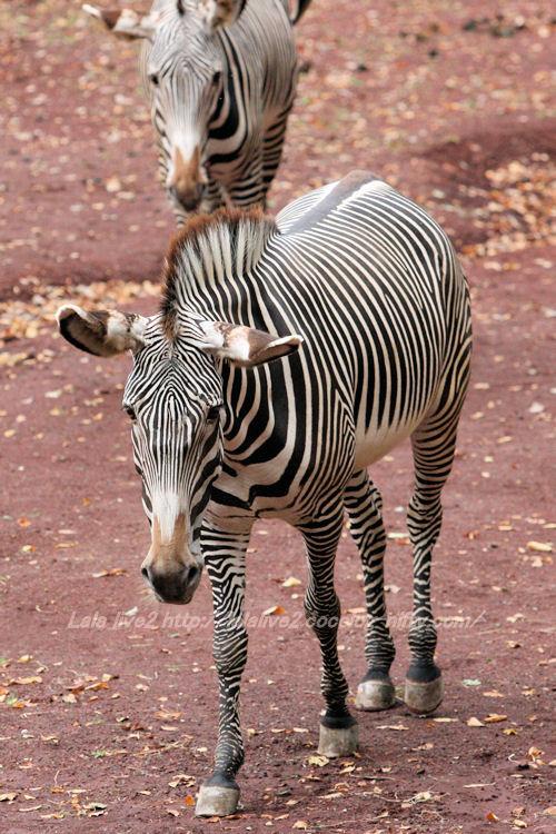 Zebra201410071_2