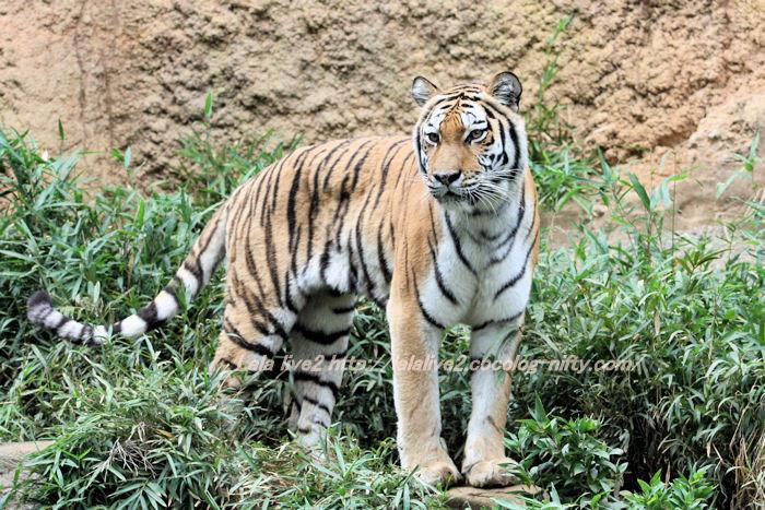 Tiger2014100711