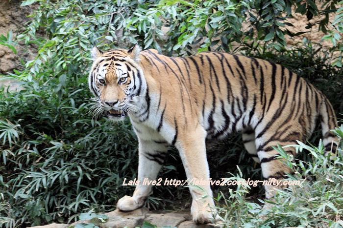 Tiger2014100712