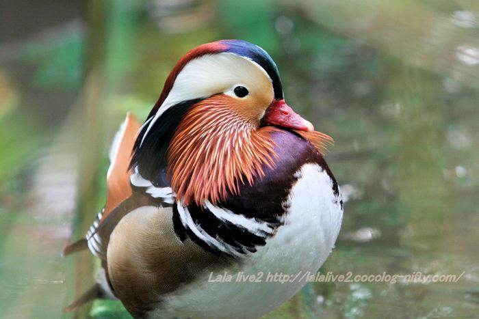 Mandarin_duck20141110