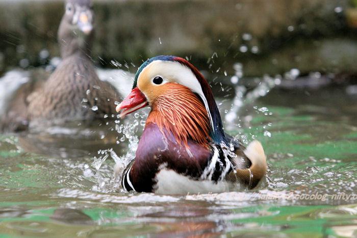 Mandarin_duck201411102