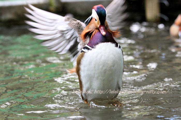 Mandarin_duck201411103