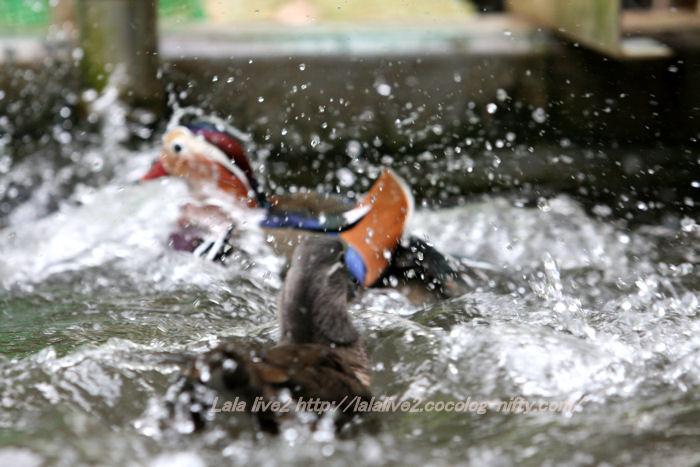 Mandarin_duck201411105