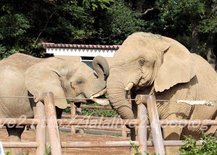 Elephants20141110