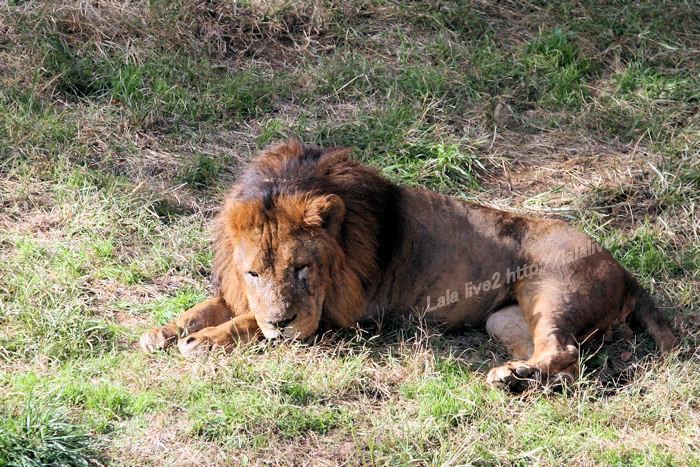 Lion20141110