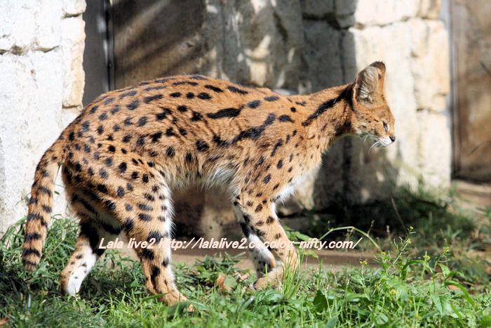 Serval20141110