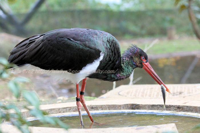Black_stork20141110