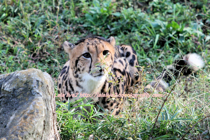 Cheetah201411101