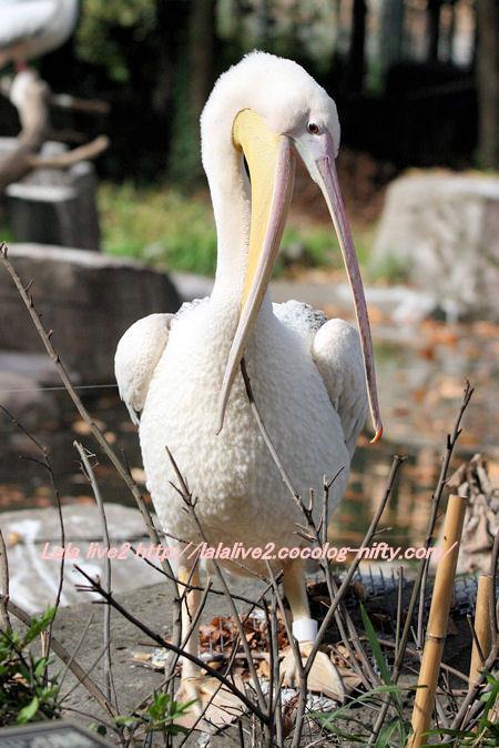 Pelican20141110