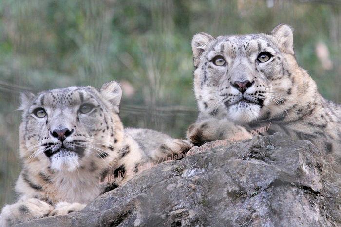 Snowleopard20141215