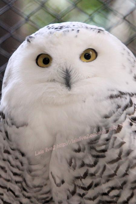 Whiteowl20141215