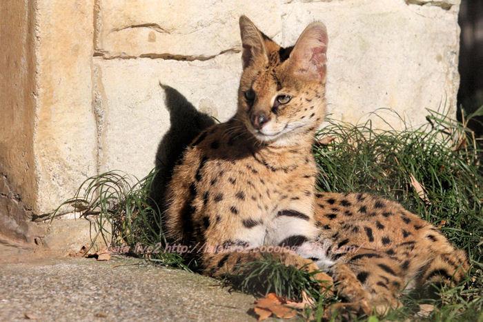 Serval20141215