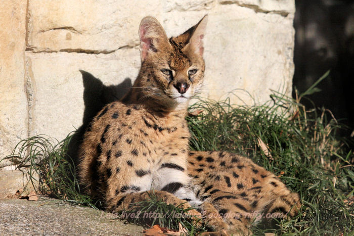 Serval201412152