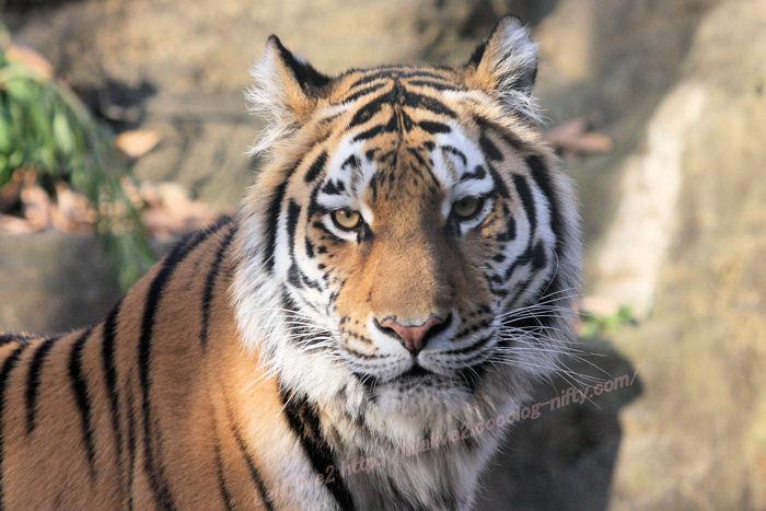 Tiger20141215