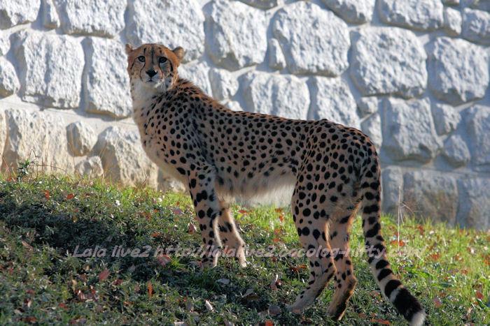 Cheetah20141215