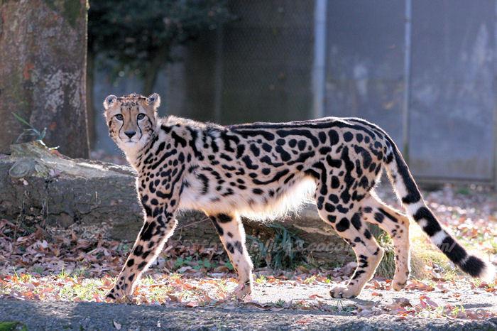 Cheetah201412151
