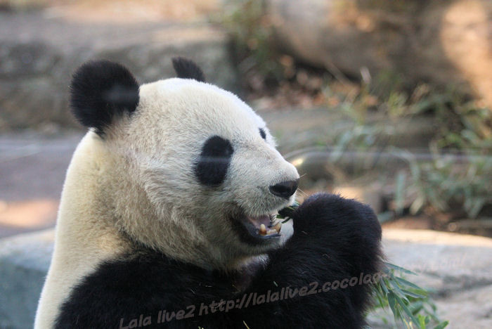 Giantpanda20150120